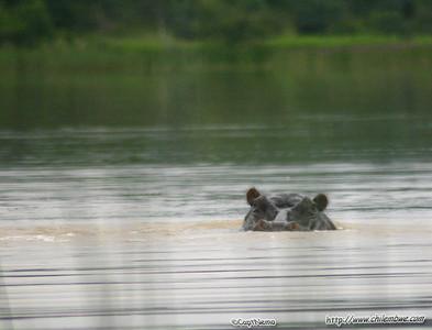 Hippo at Mokolodi Game preserve, near Gaborone, Botswana