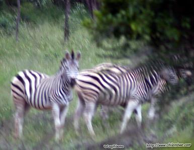 Zebra at Mokolodi Game preserve, near Gaborone, Botswana