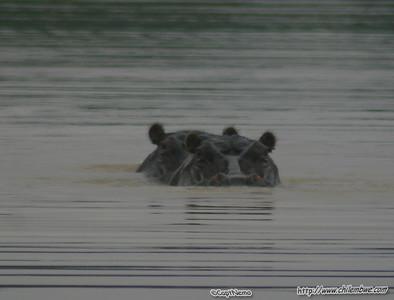Hippos at Mokolodi Game preserve, near Gaborone, Botswana