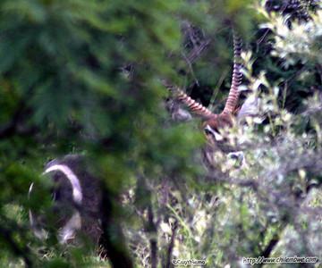 Water buck at Mokolodi Game preserve, near Gaborone, Botswana