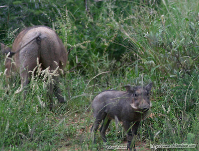 Baby warthog at Mokolodi Game preserve, near Gaborone, Botswana