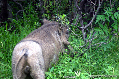 A warthog showing its best side to the camera?