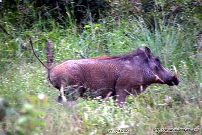 Warthog running at Mokolodi Game preserve, near Gaborone, Botswana