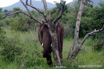 Elephant at Mokolodi Game preserve, near Gaborone, Botswana