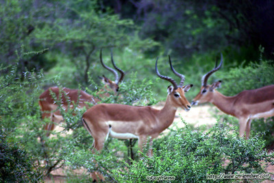 Impala at Mokolodi Game preserve, near Gaborone, Botswana