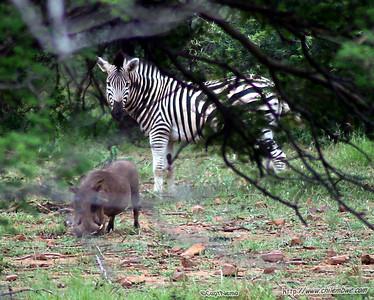 Zebra and warthog at Mokolodi Game preserve, near Gaborone, Botswana