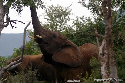 Elephant at Mokolodi Game preserve, near Gaborone, Botswana.