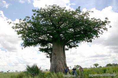 baobob tree, Okavongo delta, Botswana.