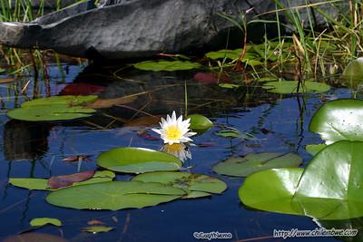 Water lily's, Okavongo delta, Botswana.