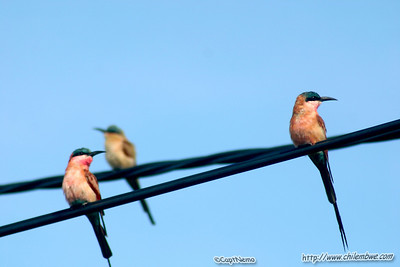 Birds on a wire. Bee eaters, Botswana.