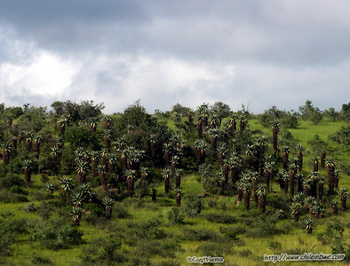 Forest of 'tree aloes'