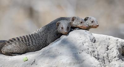 Banded Mongoose | Botswana