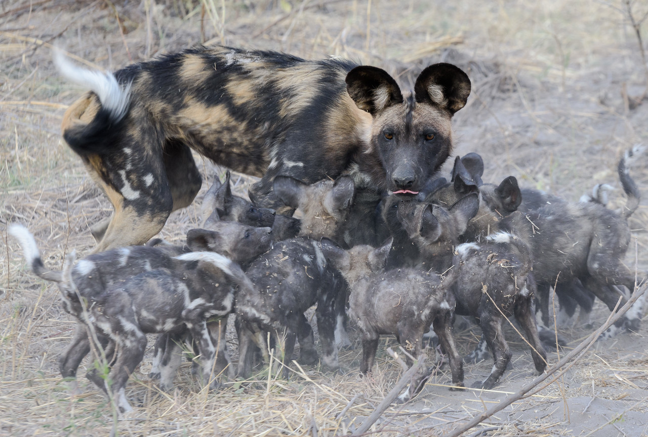 African Wild Dogs | Sandibe, Botswana