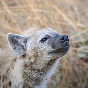 Spotted Hyena   Botswana