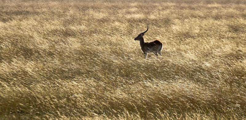 Red Lechwe | Botswana