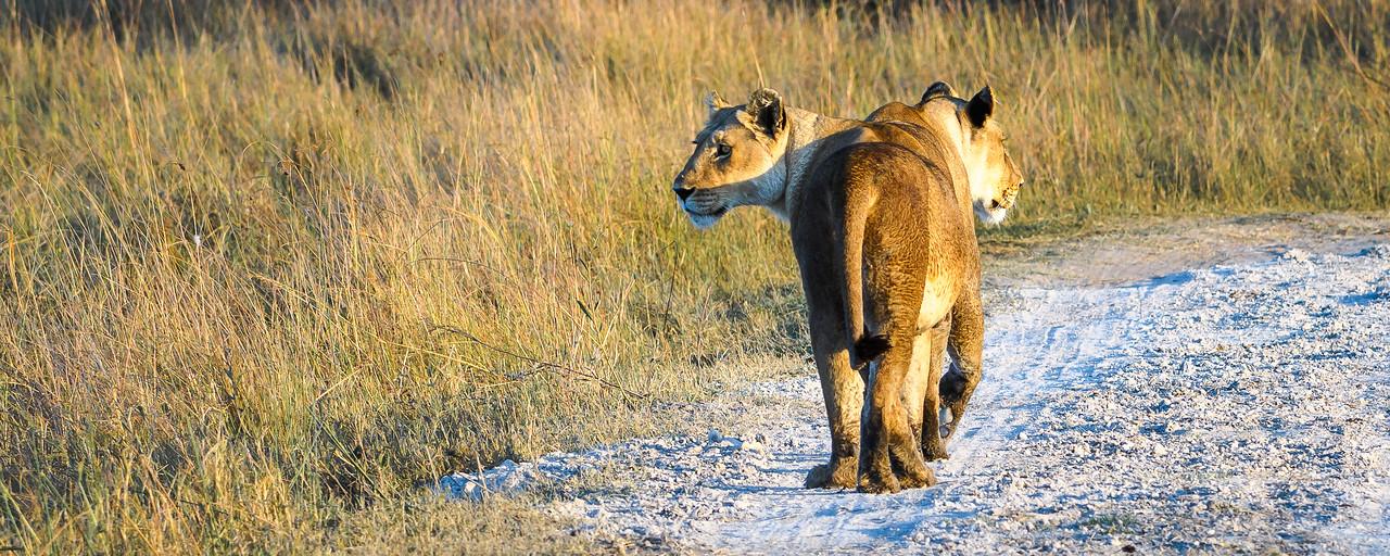 Lionesses | Botswana