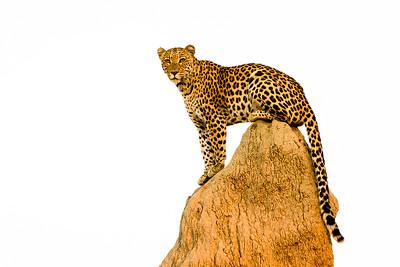 Leopard on termite mound | Botswana