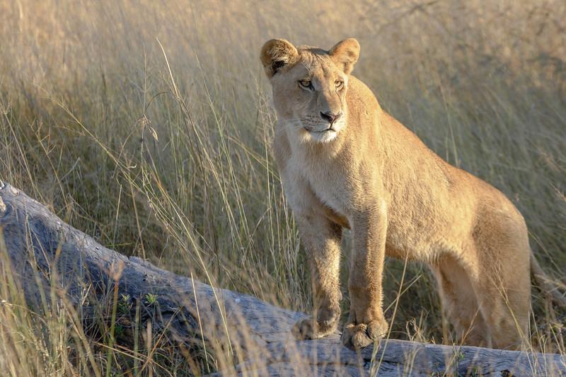 Lioness | Botswana