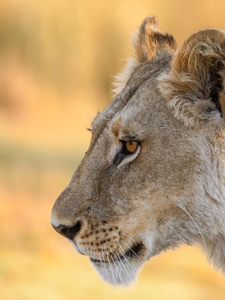 Lion | Botswana