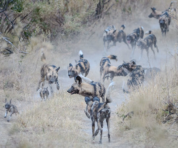 African Wild Dogs   Sandibe, Botswana