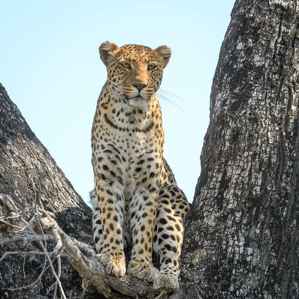 Leopard | Botswana