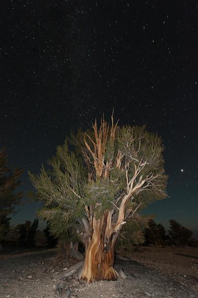 Bristlecone Pine, Patriarch Grove, White Mountains