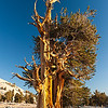 Bristlecone Pine, Patriarch Grove, White Mountains