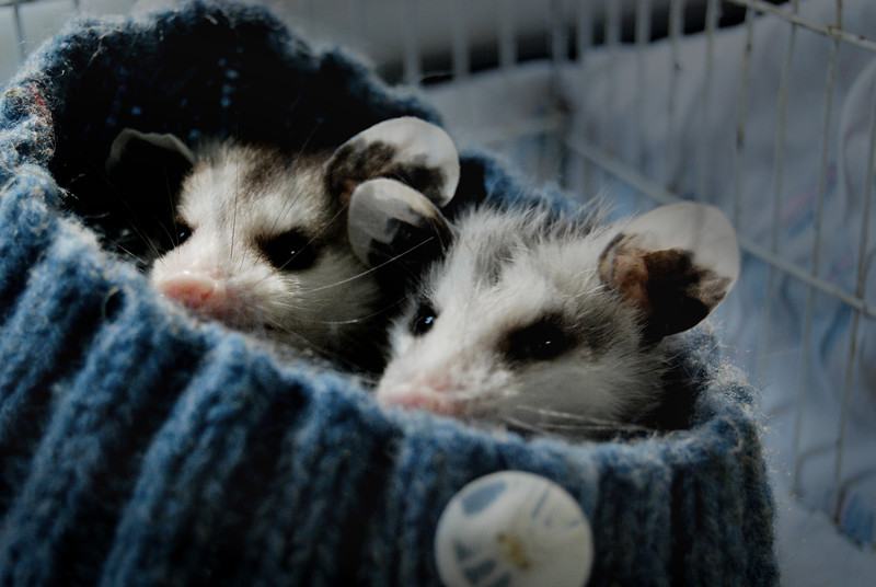 Opossums in a Tuque