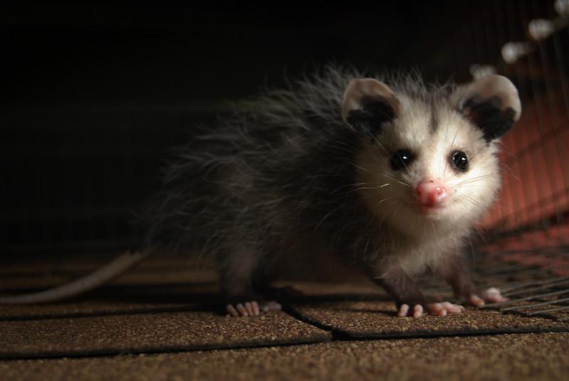 Opossum Joey 2