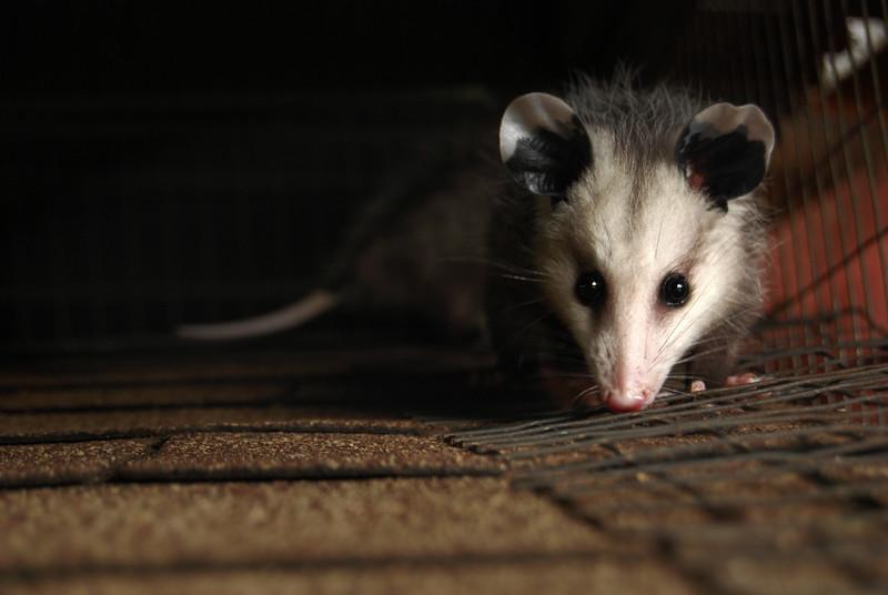 Opossum Joey 1