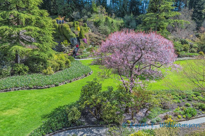 Cherry tree and viewing platform, Sunken Gardens, Butchart Gardens