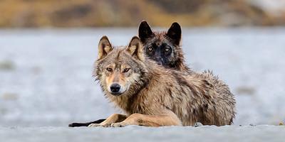 Coastal Wolves | British Columbia