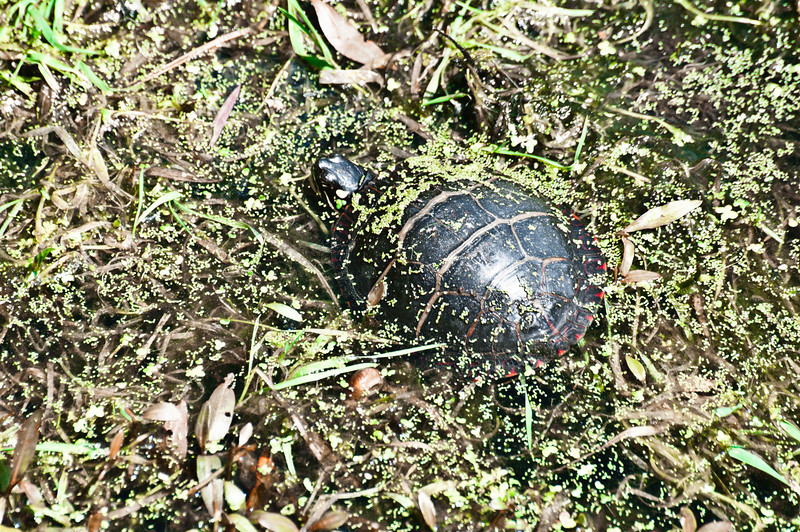 Painted Turtle in Duck Weed