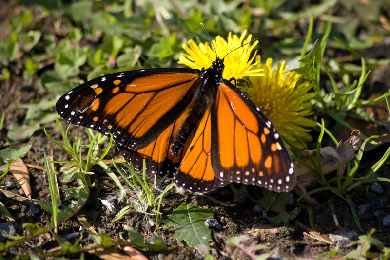 A beautiful fall day in Buffalo. Betsy and I both thought this butterfly was in its twilight. It flew pretty slowly and didn't seem too disturbed by me being close. Looking closely at the picture 'he' seems to have some worn edges.