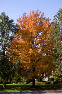 A beautiful fall day in Buffalo. Stunning yellow tree.