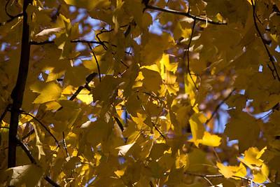 A beautiful fall day in Buffalo. Stunning yellow leaves.