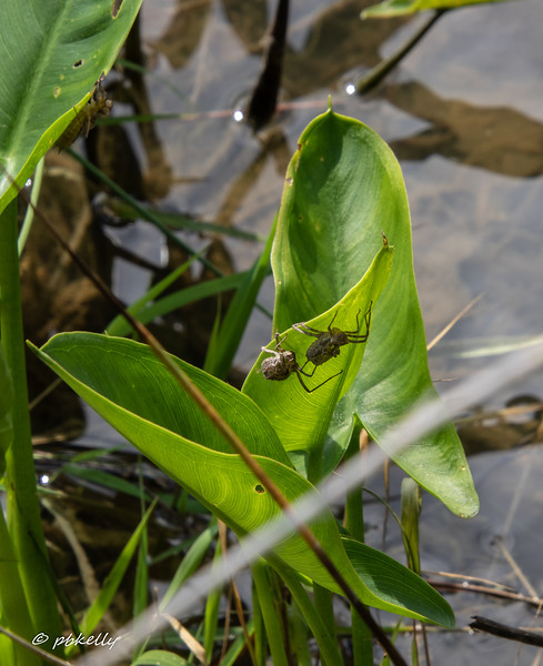 052820.  The vegetation around the ponds was loaded with exuvia  where the dragonflies had emerged.