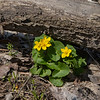 042520.  Marsh Marigolds peeking out from a dead log.