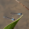052820.  A pair of mating Skimming Bluets