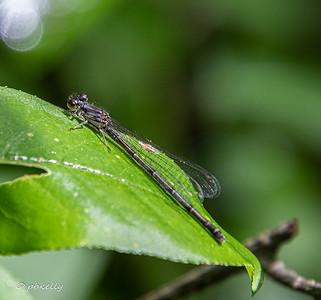 052619.  Female Fragile Forktail.