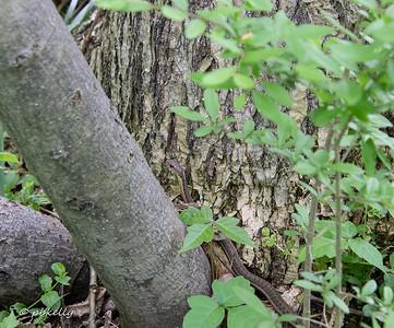 052619.  Obliging Garter Snake in the Poison Ivy.
