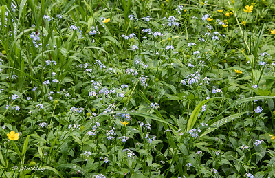 052619.  Forget-Me-Nots in profusion.