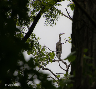 052619.  A Heron observed through the dense foliage.  Very little could be seen of the rookery because of the leaves, but they could certainly be heard!