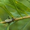 Black-horned Tree Cricket