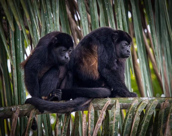 Howler Monkeys