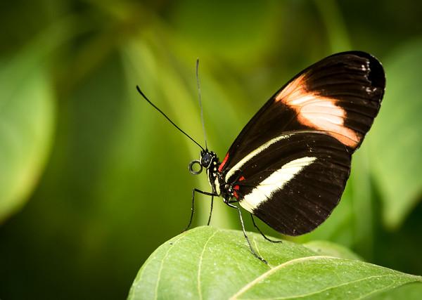 Butterfly, Waterfall Gardens