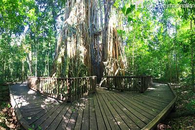 IMG_0496 Fig Tree Atherton Tableland