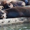 Sea Lions - Moss Landing,California