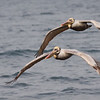 Brown Pelicans - Monterey Bay,California