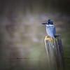 Belted Kingfisher - Elkhorn Slough - California